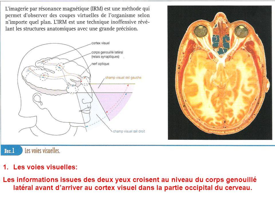 1.Les voies visuelles: Les informations issues des deux yeux croisent au niveau du corps genouillé latéral avant darriver au cortex visuel dans la par