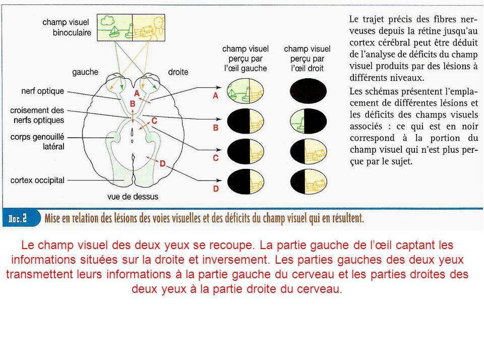Le champ visuel des deux yeux se recoupe. La partie gauche de lœil captant les informations situées sur la droite et inversement. Les parties gauches