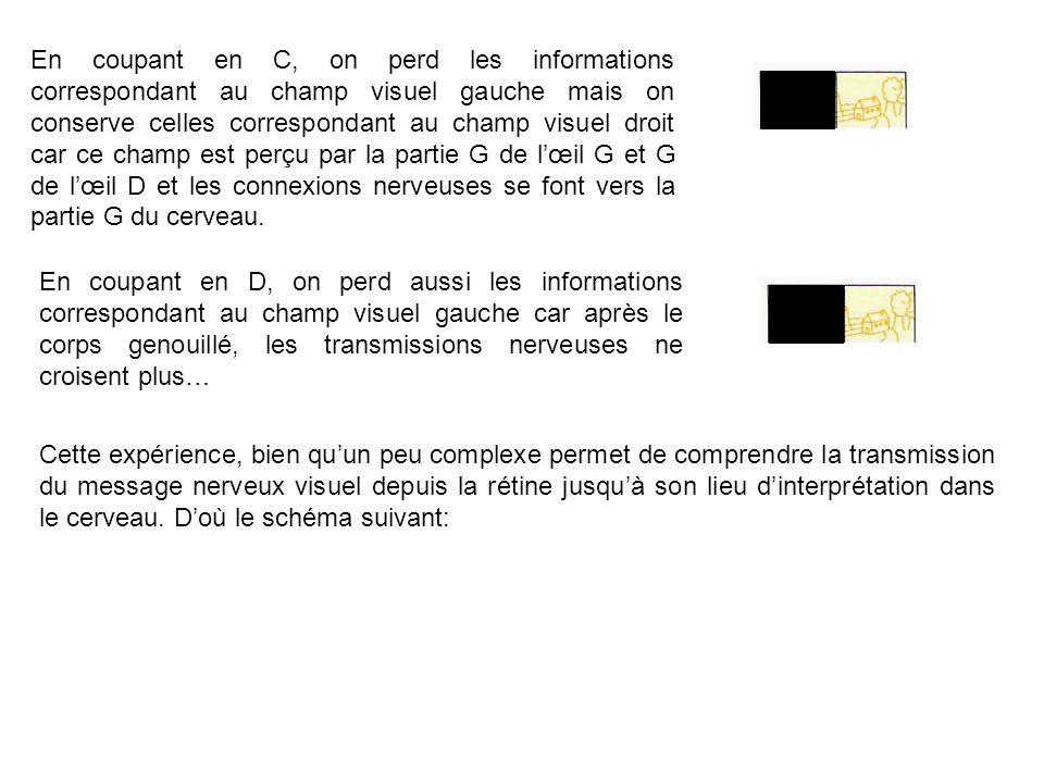 En coupant en C, on perd les informations correspondant au champ visuel gauche mais on conserve celles correspondant au champ visuel droit car ce cham