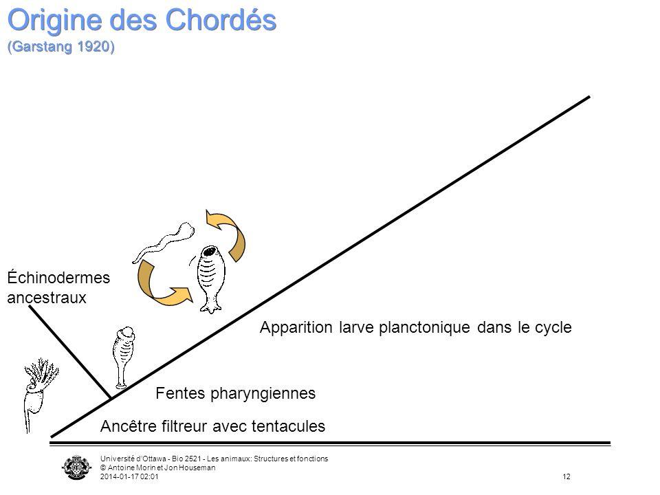 Université dOttawa - Bio 2521 - Les animaux: Structures et fonctions © Antoine Morin et Jon Houseman 2014-01-17 02:0312 Ancêtre filtreur avec tentacul