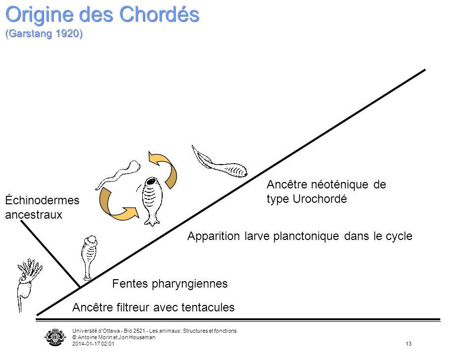 Université dOttawa - Bio 2521 - Les animaux: Structures et fonctions © Antoine Morin et Jon Houseman 2014-01-17 02:0313 Ancêtre filtreur avec tentacul