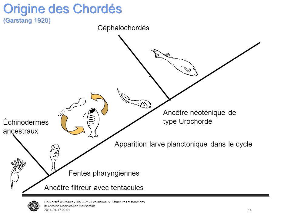 Université dOttawa - Bio 2521 - Les animaux: Structures et fonctions © Antoine Morin et Jon Houseman 2014-01-17 02:0314 Ancêtre filtreur avec tentacul