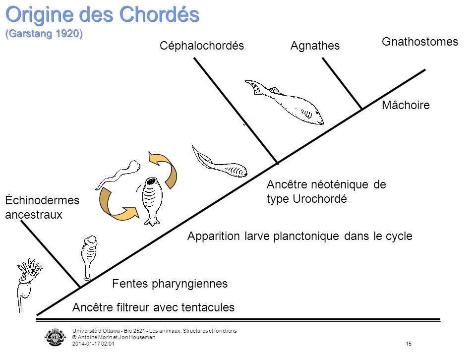 Université dOttawa - Bio 2521 - Les animaux: Structures et fonctions © Antoine Morin et Jon Houseman 2014-01-17 02:0315 Ancêtre filtreur avec tentacul