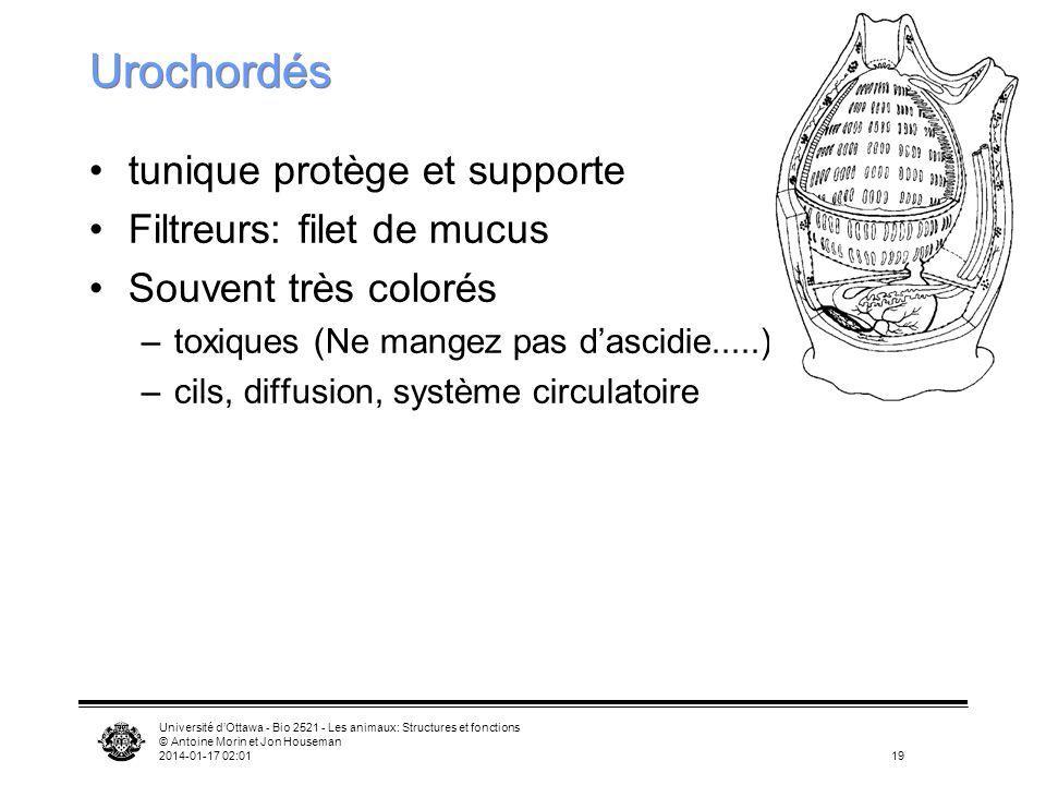 Université dOttawa - Bio 2521 - Les animaux: Structures et fonctions © Antoine Morin et Jon Houseman 2014-01-17 02:0319 Urochordés tunique protège et