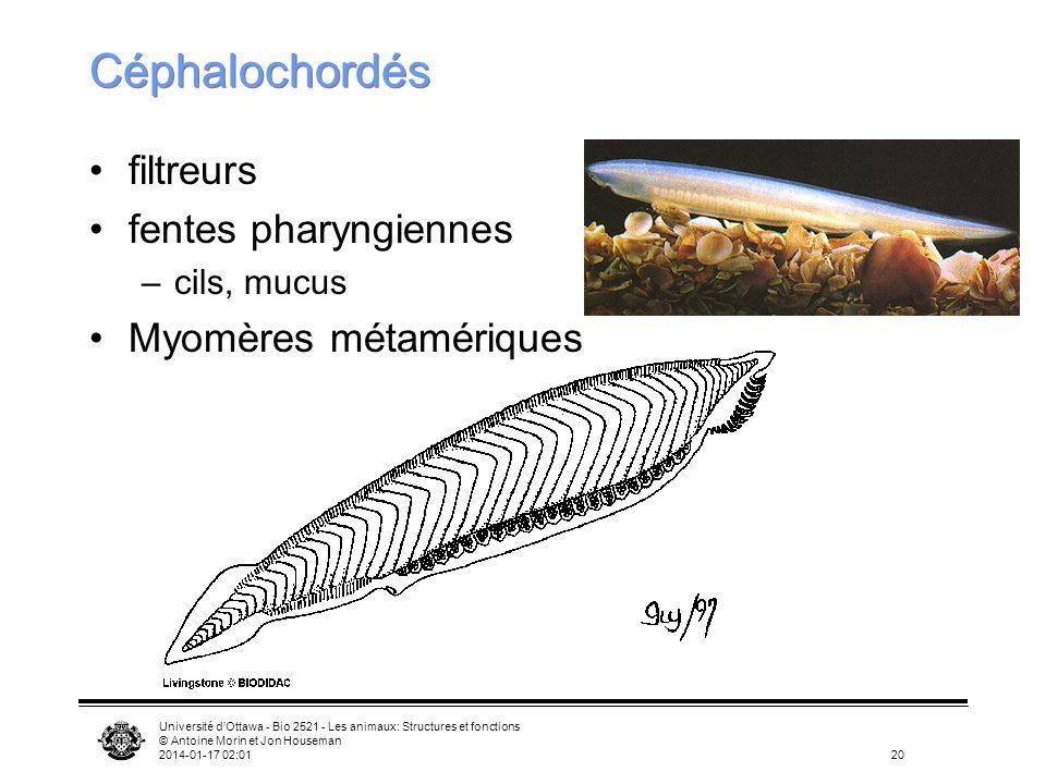 Université dOttawa - Bio 2521 - Les animaux: Structures et fonctions © Antoine Morin et Jon Houseman 2014-01-17 02:0320 Céphalochordés filtreurs fente