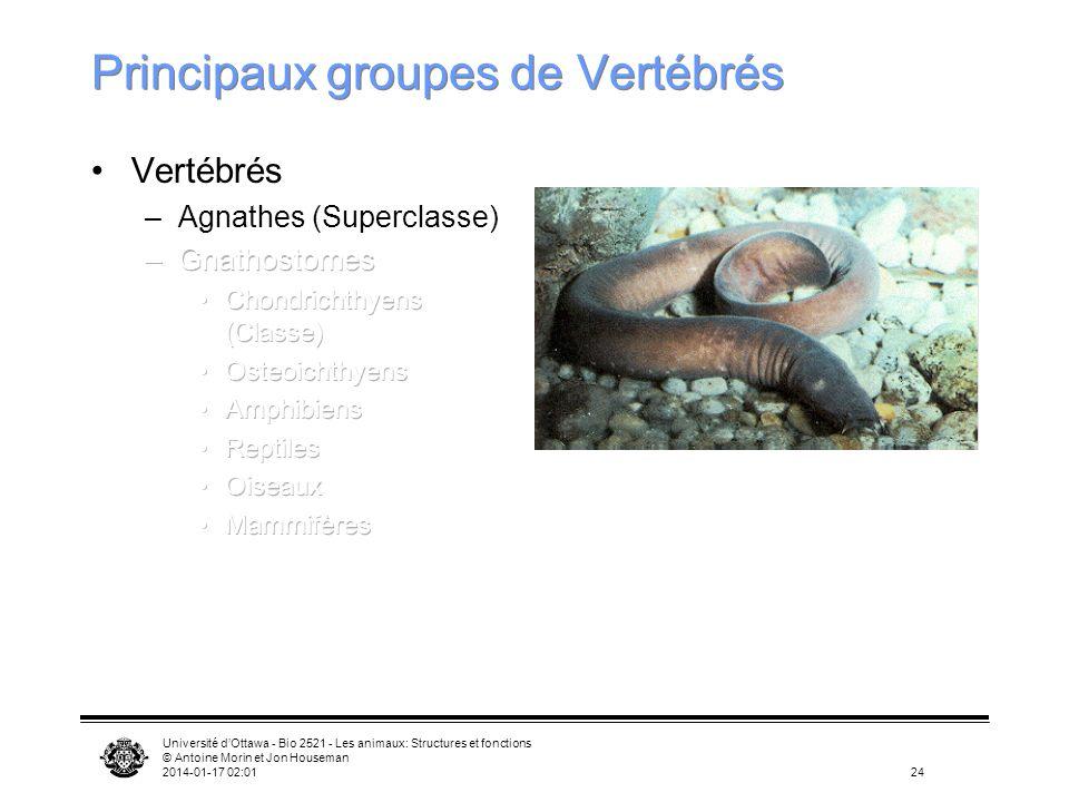 Université dOttawa - Bio 2521 - Les animaux: Structures et fonctions © Antoine Morin et Jon Houseman 2014-01-17 02:0324 Principaux groupes de Vertébré