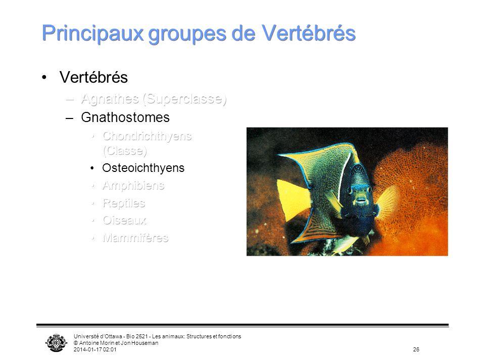 Université dOttawa - Bio 2521 - Les animaux: Structures et fonctions © Antoine Morin et Jon Houseman 2014-01-17 02:0326 Principaux groupes de Vertébré