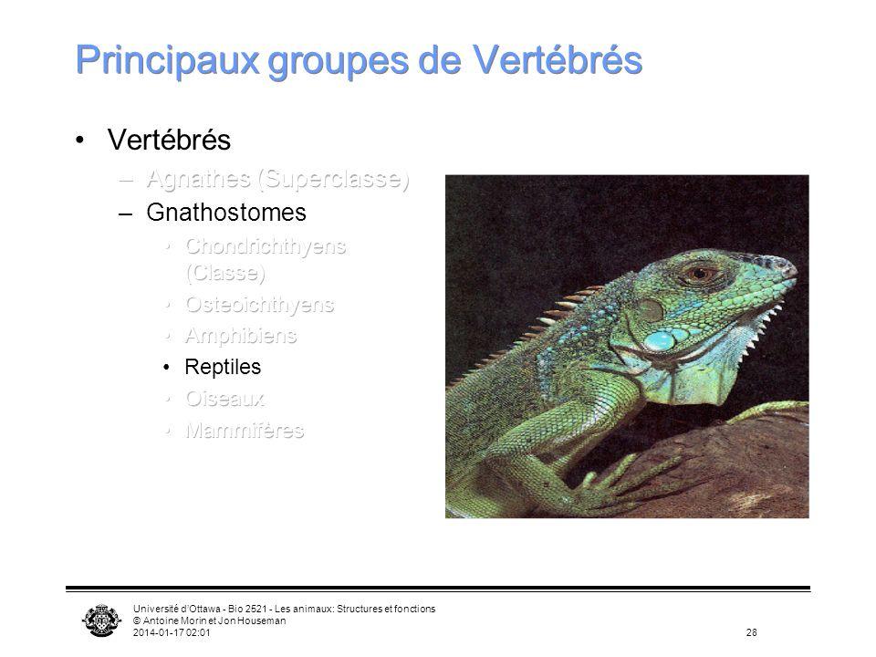 Université dOttawa - Bio 2521 - Les animaux: Structures et fonctions © Antoine Morin et Jon Houseman 2014-01-17 02:0328 Principaux groupes de Vertébré