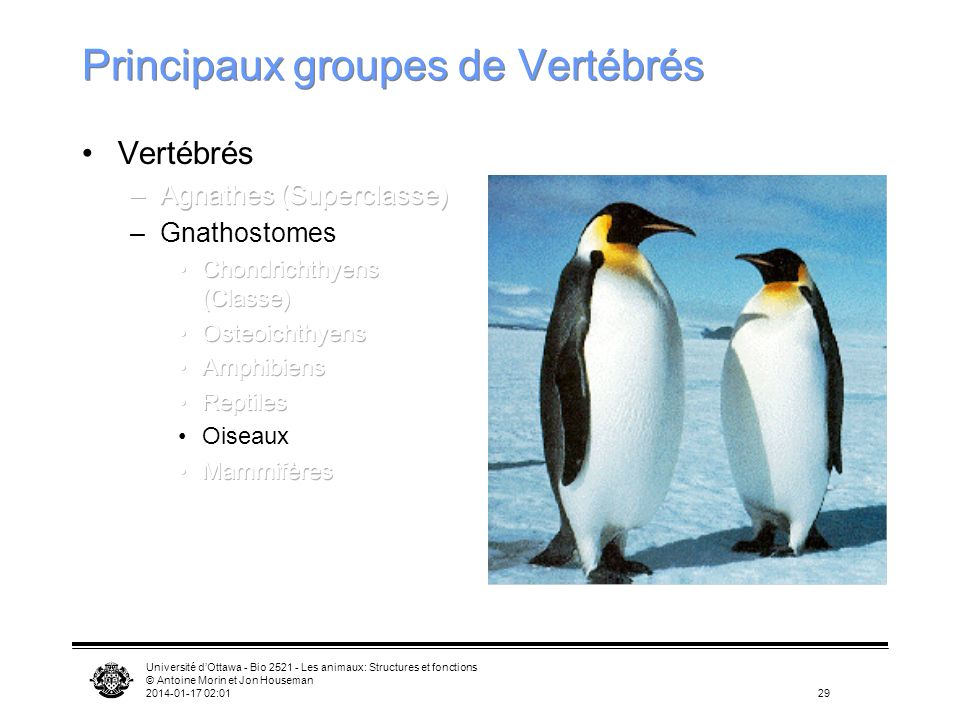 Université dOttawa - Bio 2521 - Les animaux: Structures et fonctions © Antoine Morin et Jon Houseman 2014-01-17 02:0329 Principaux groupes de Vertébré