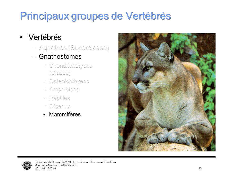Université dOttawa - Bio 2521 - Les animaux: Structures et fonctions © Antoine Morin et Jon Houseman 2014-01-17 02:0330 Principaux groupes de Vertébré