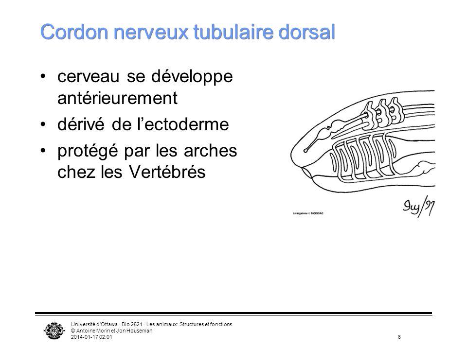 Université dOttawa - Bio 2521 - Les animaux: Structures et fonctions © Antoine Morin et Jon Houseman 2014-01-17 02:0317 Urochordés Bouche Atrium Fentes pharyngiennes Estomac Ascidie