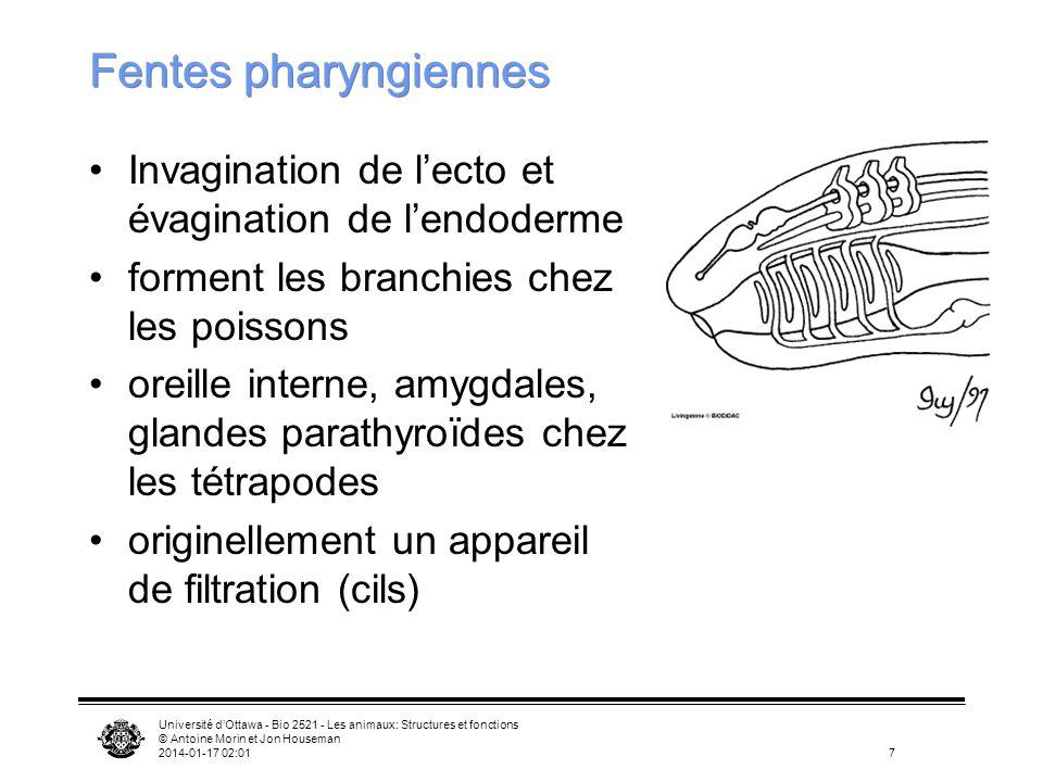 Université dOttawa - Bio 2521 - Les animaux: Structures et fonctions © Antoine Morin et Jon Houseman 2014-01-17 02:0318 Larve dAscidie Bouche Pharynx Fentes pharyngiennes Notocorde Cordon nerveux