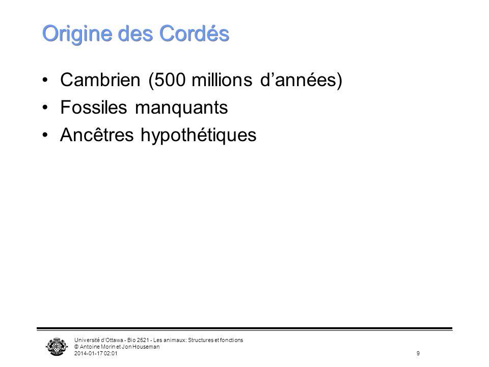 Université dOttawa - Bio 2521 - Les animaux: Structures et fonctions © Antoine Morin et Jon Houseman 2014-01-17 02:039 Origine des Cordés Cambrien (50
