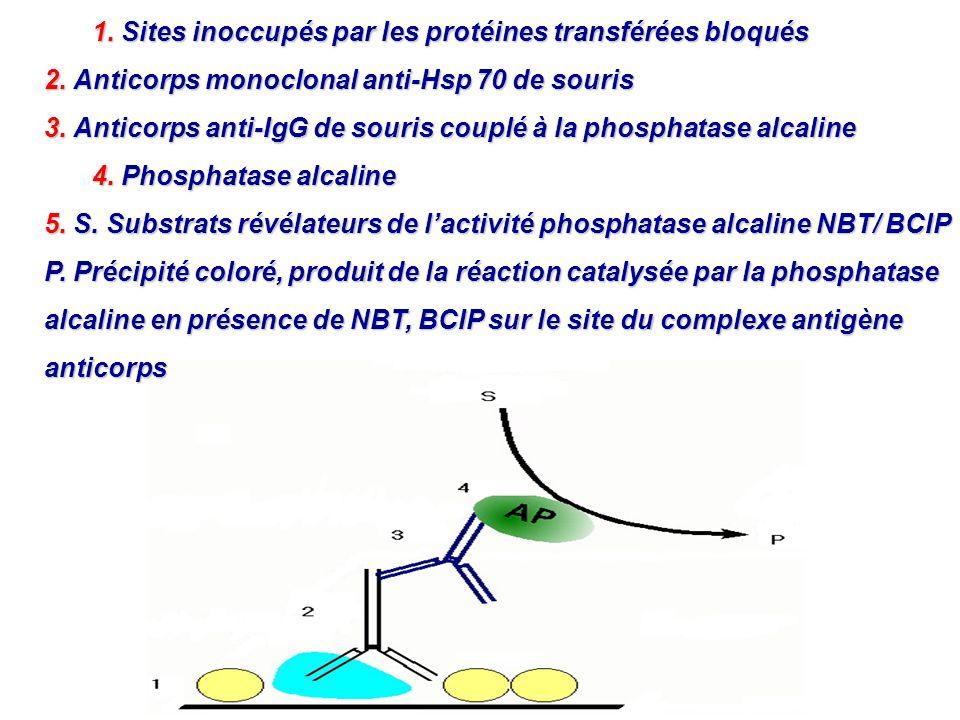 1. Sites inoccupés par les protéines transférées bloqués 2. Anticorps monoclonal anti-Hsp 70 de souris 3. Anticorps anti-IgG de souris couplé à la pho