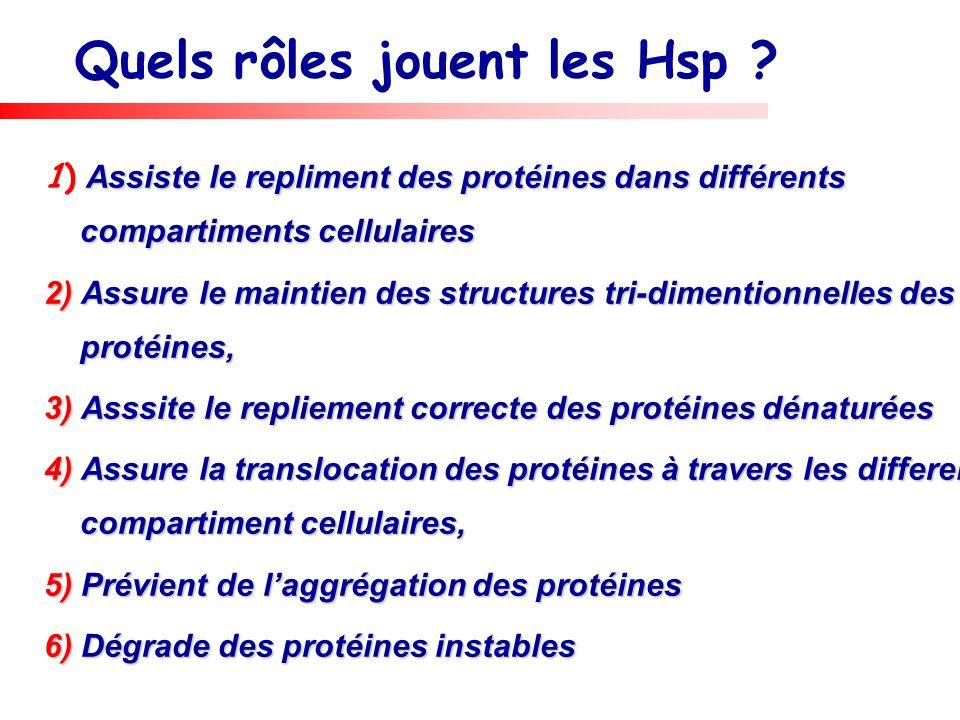 Quels rôles jouent les Hsp ? Assiste le repliment des protéines dans différents compartiments cellulaires 1) Assiste le repliment des protéines dans d