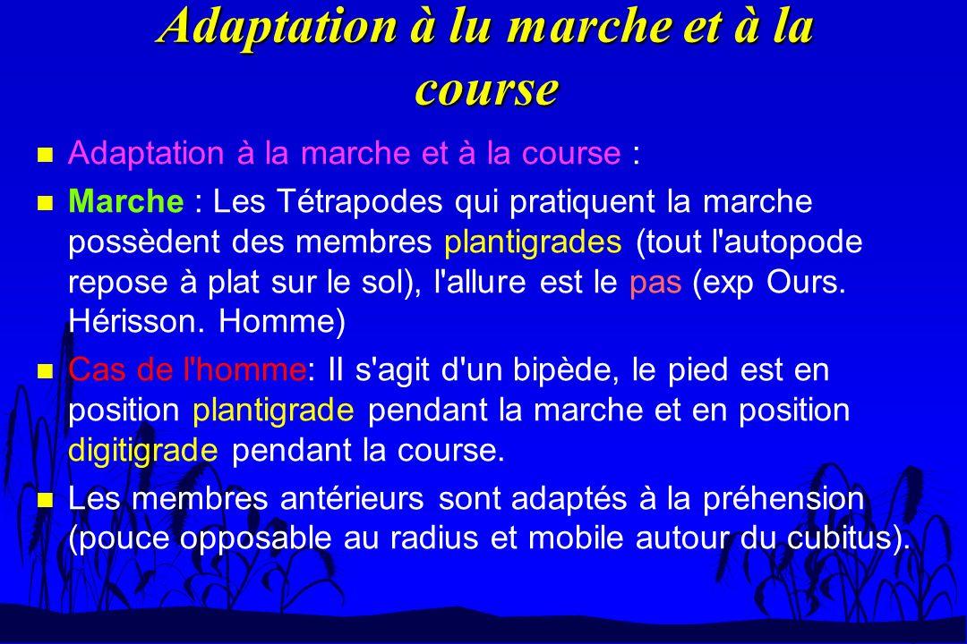 Adaptation à lu marche et à la course n Adaptation à la marche et à la course : n Marche : Les Tétrapodes qui pratiquent la marche possèdent des membr