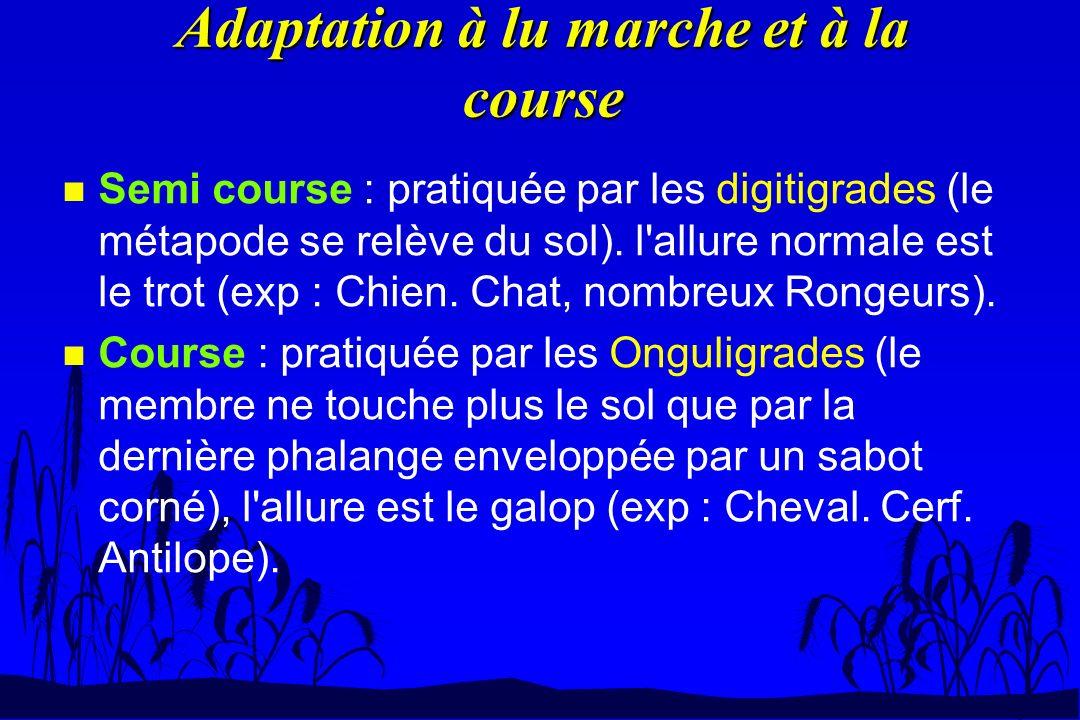 Adaptation à lu marche et à la course n Semi course : pratiquée par les digitigrades (le métapode se relève du sol). l'allure normale est le trot (exp