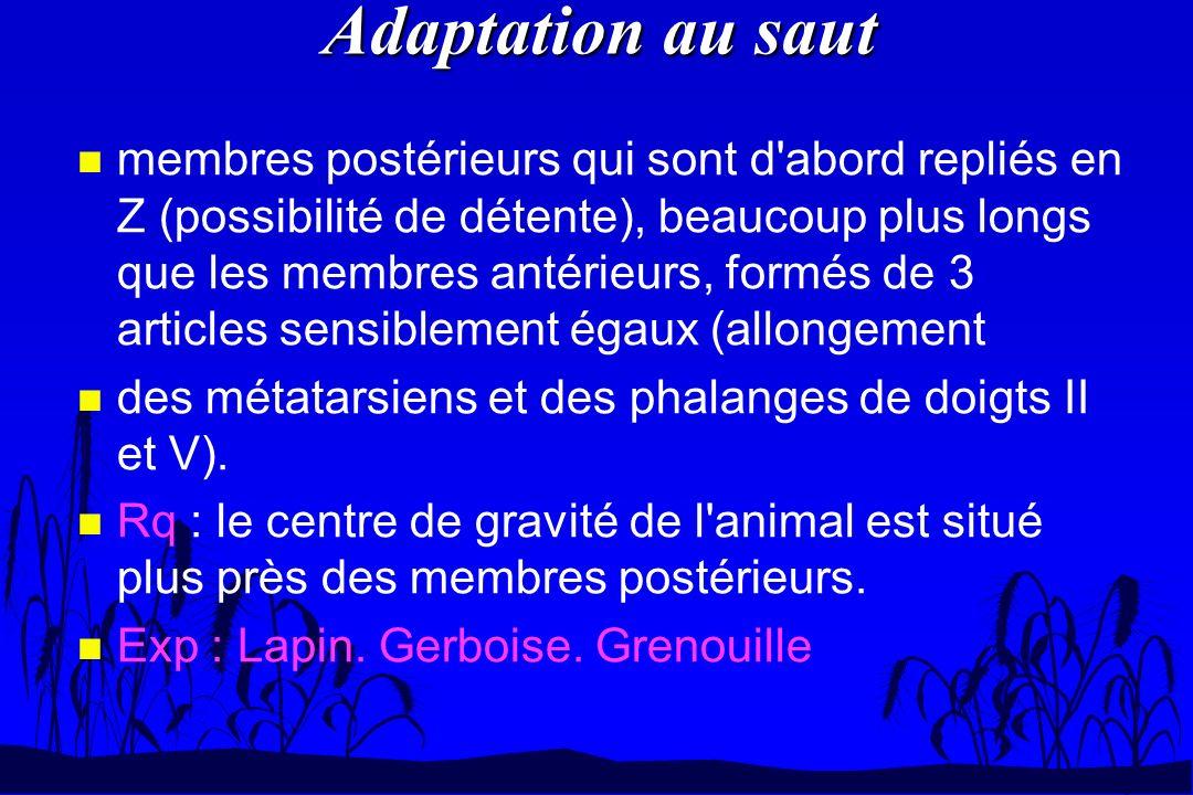 Adaptation au saut n membres postérieurs qui sont d'abord repliés en Z (possibilité de détente), beaucoup plus longs que les membres antérieurs, formé