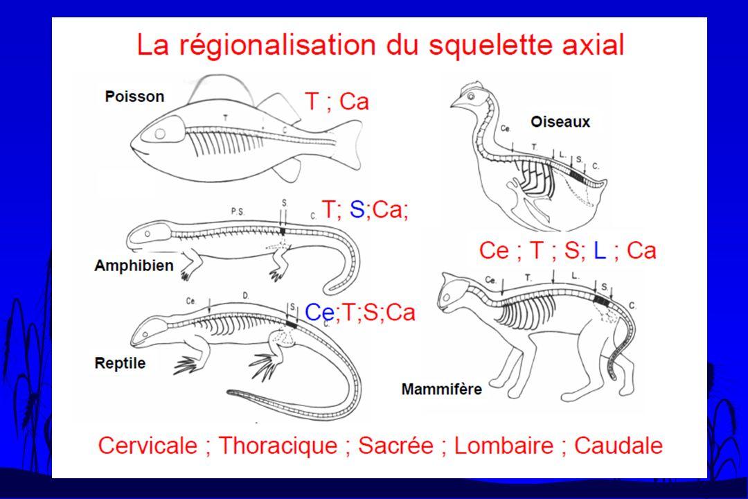 Adaptation à la nage n Certains Tétrapodes qui mènent une vie amphibie ne présentent pas des modifications squelettiques.
