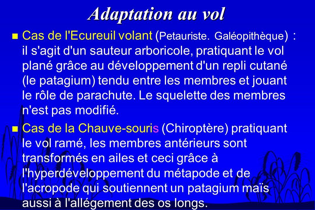 Adaptation au vol n Cas de l'Ecureuil volant ( Petauriste. Galéopithèque ) : il s'agit d'un sauteur arboricole, pratiquant le vol plané grâce au dével