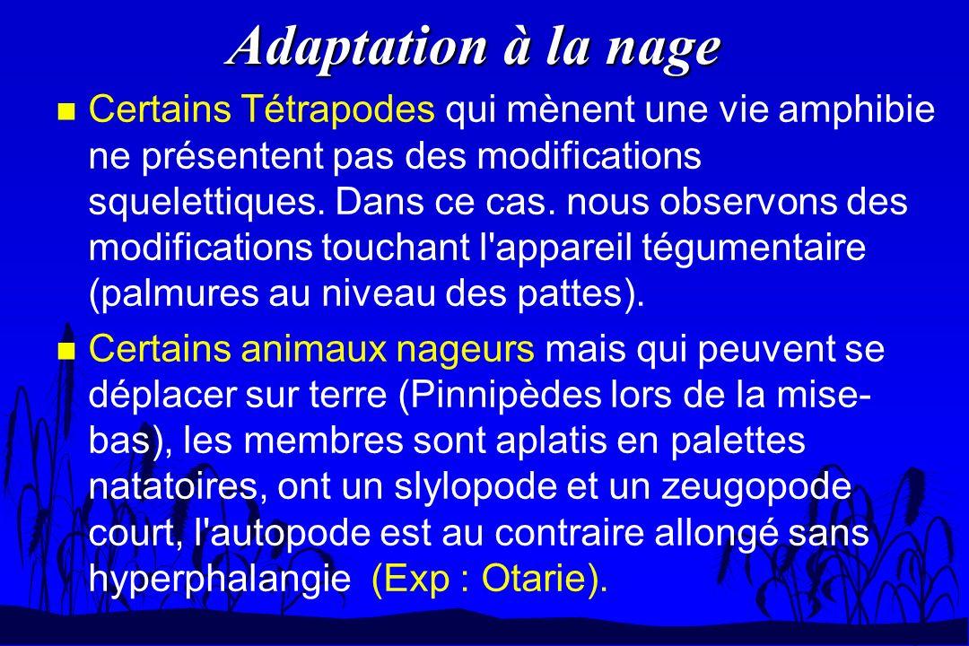 Adaptation à la nage n Certains Tétrapodes qui mènent une vie amphibie ne présentent pas des modifications squelettiques. Dans ce cas. nous observons