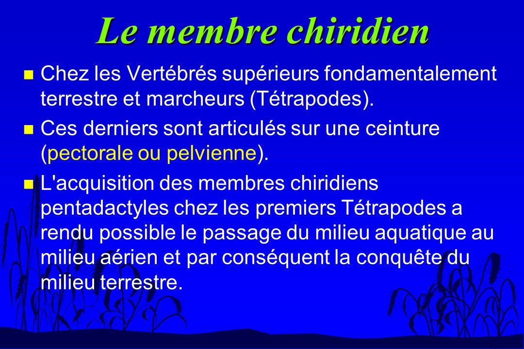 Le membre chiridien n Chez les Vertébrés supérieurs fondamentalement terrestre et marcheurs (Tétrapodes). n Ces derniers sont articulés sur une ceintu