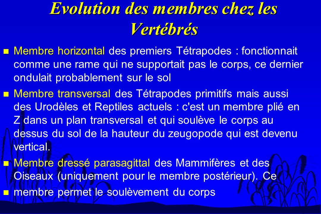 Evolution des membres chez les Vertébrés n Membre horizontal n Membre horizontal des premiers Tétrapodes : fonctionnait comme une rame qui ne supporta