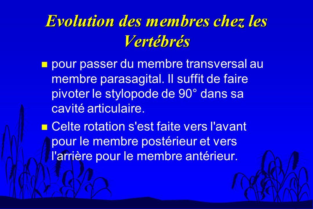 Evolution des membres chez les Vertébrés n pour passer du membre transversal au membre parasagital. Il suffit de faire pivoter le stylopode de 90° dan