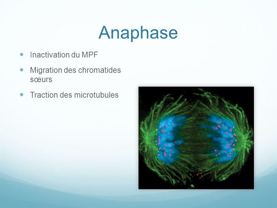 Anaphase Inactivation du MPF Migration des chromatides sœurs Traction des microtubules