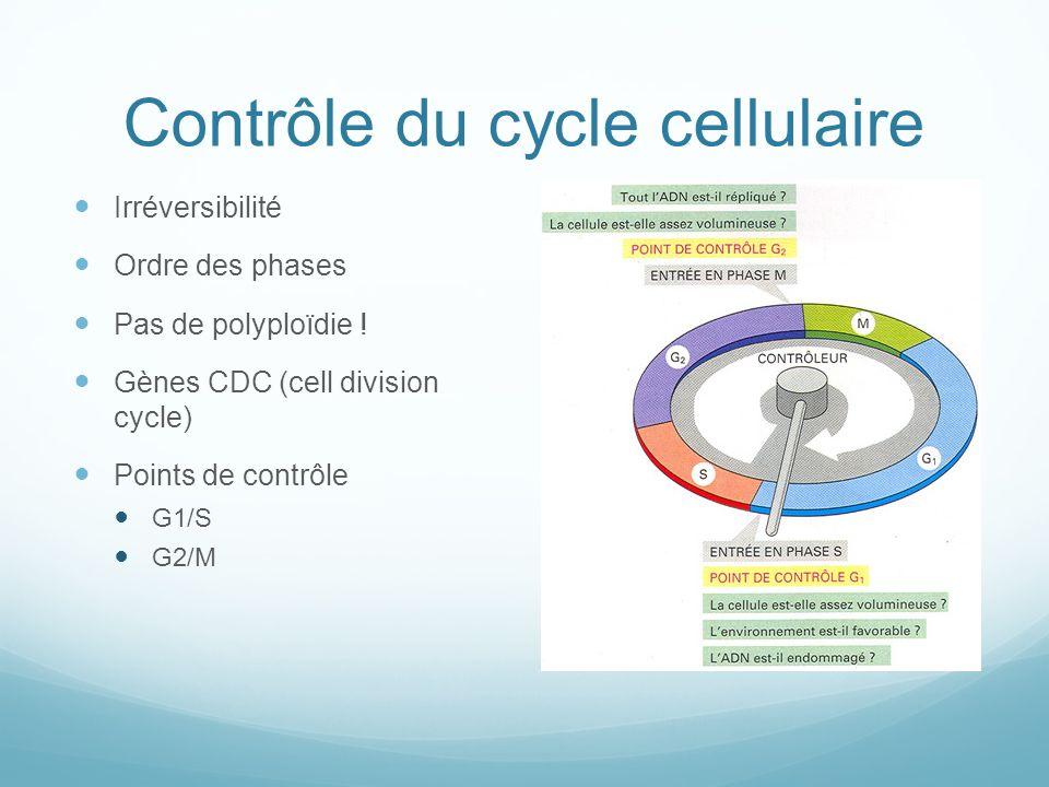 Contrôle du cycle cellulaire Irréversibilité Ordre des phases Pas de polyploïdie .