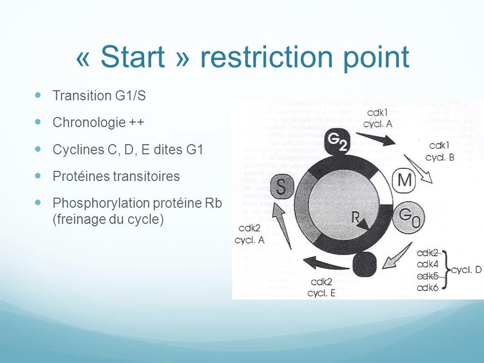 « Start » restriction point Transition G1/S Chronologie ++ Cyclines C, D, E dites G1 Protéines transitoires Phosphorylation protéine Rb (freinage du cycle)