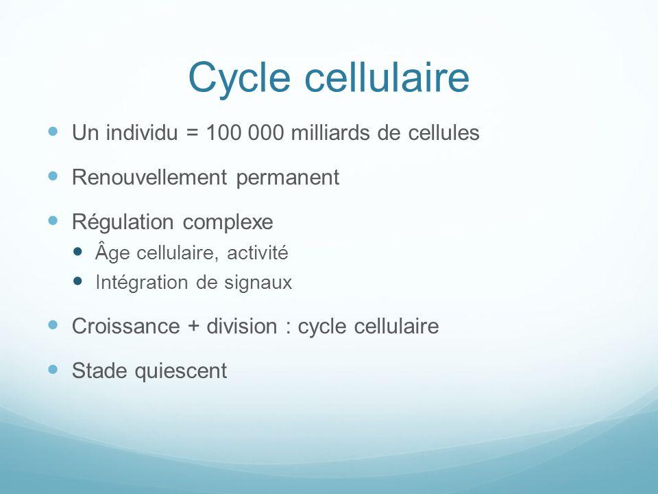 Cycle cellulaire Un individu = 100 000 milliards de cellules Renouvellement permanent Régulation complexe Âge cellulaire, activité Intégration de signaux Croissance + division : cycle cellulaire Stade quiescent