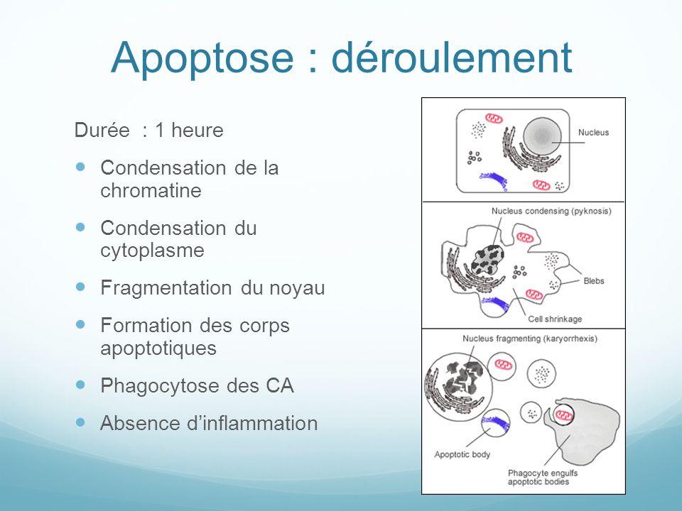 Apoptose : déroulement Durée : 1 heure Condensation de la chromatine Condensation du cytoplasme Fragmentation du noyau Formation des corps apoptotiques Phagocytose des CA Absence dinflammation
