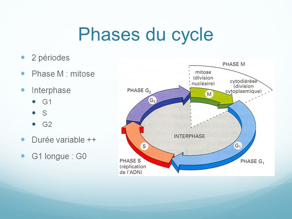 Phases du cycle 2 périodes Phase M : mitose Interphase G1 S G2 Durée variable ++ G1 longue : G0