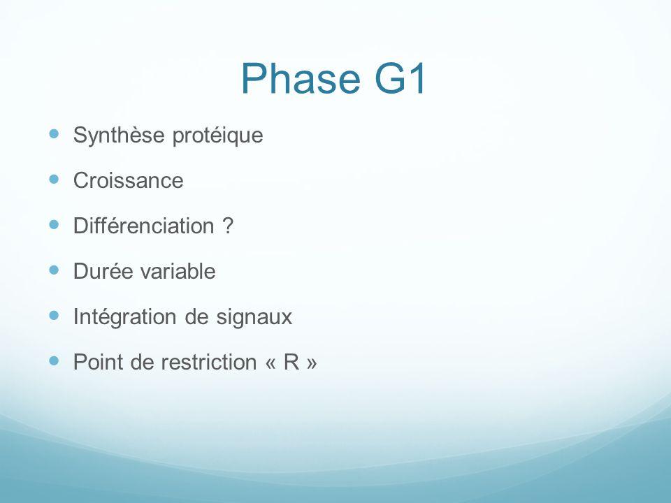 Phase G1 Synthèse protéique Croissance Différenciation .