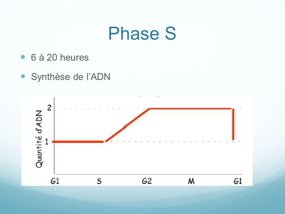 Phase S 6 à 20 heures Synthèse de lADN