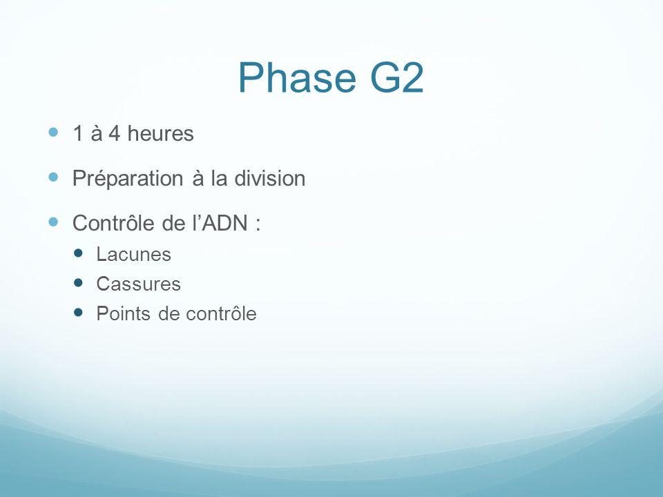 Phase G2 1 à 4 heures Préparation à la division Contrôle de lADN : Lacunes Cassures Points de contrôle