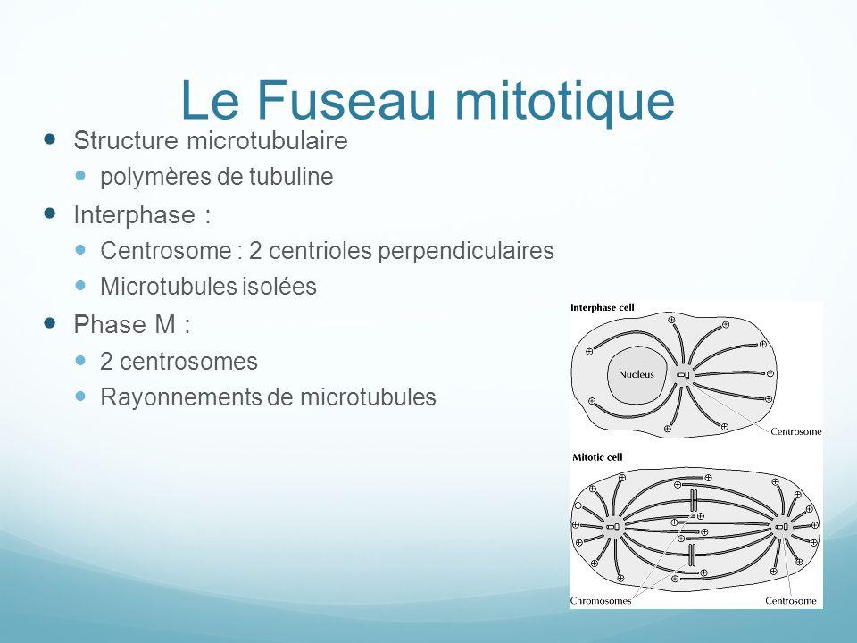 Le Fuseau mitotique Structure microtubulaire polymères de tubuline Interphase : Centrosome : 2 centrioles perpendiculaires Microtubules isolées Phase M : 2 centrosomes Rayonnements de microtubules