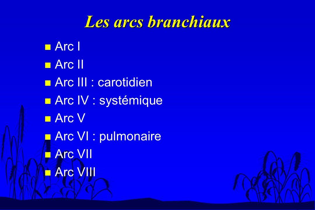 Arcs branchiaux des cyclostomes