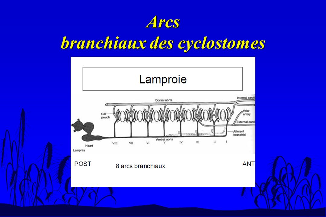 Arcs branchiaux des cyclostomes