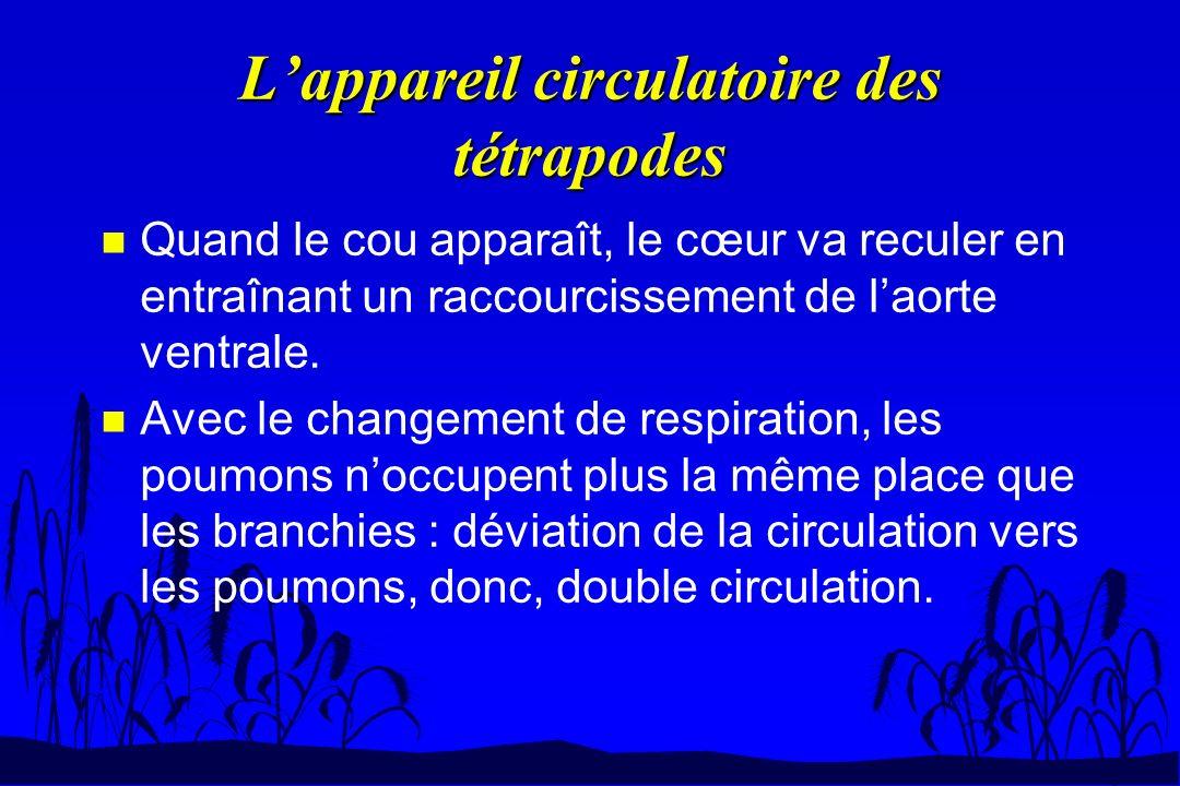 Lappareil circulatoire des tétrapodes n Quand le cou apparaît, le cœur va reculer en entraînant un raccourcissement de laorte ventrale. n Avec le chan