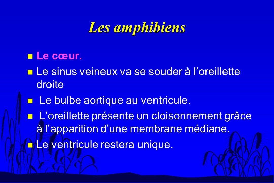 Les amphibiens n Le cœur. n Le sinus veineux va se souder à loreillette droite n Le bulbe aortique au ventricule. n Loreillette présente un cloisonnem