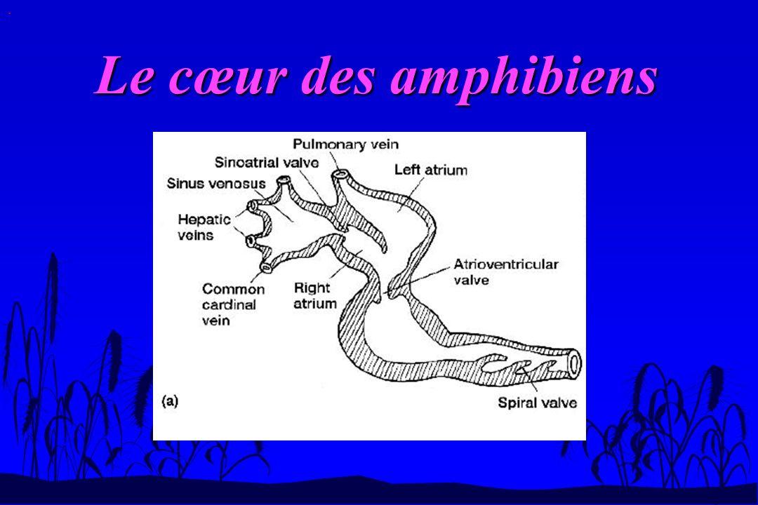 Les arcs aortiques.n Chez le têtard, il reste les arcs 3,4,5 et 6.