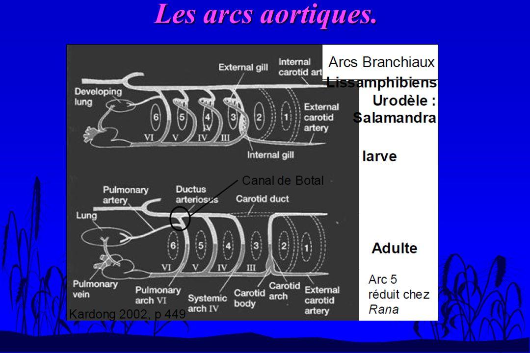 Les arcs aortiques n A la naissance: fermeture de la post-dérivation de larc 6 qui donnera le ligament de Botal.