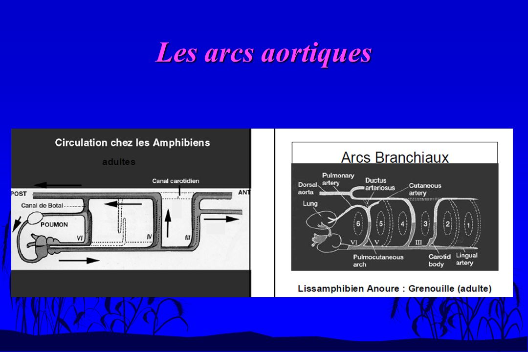 Les arcs aortiques