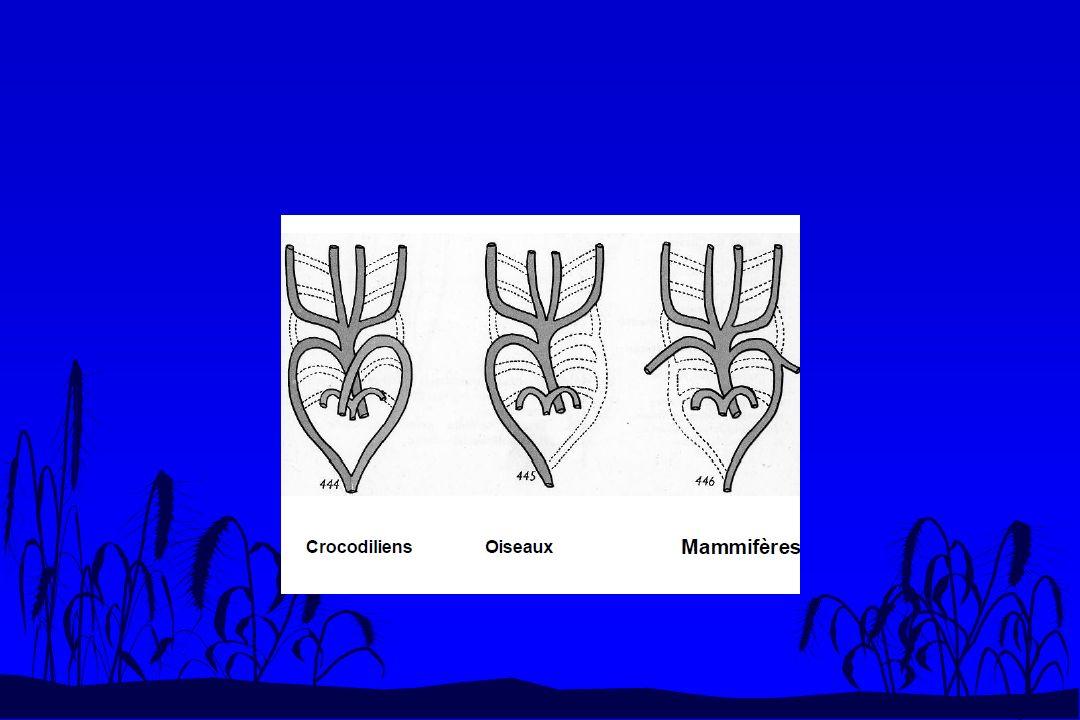 Les modifications de lappareil circulatoire en fonction des modes de respiration au cours du développement embryonnaire n Tous les tétrapodes changent de respiration pendant leur développement.