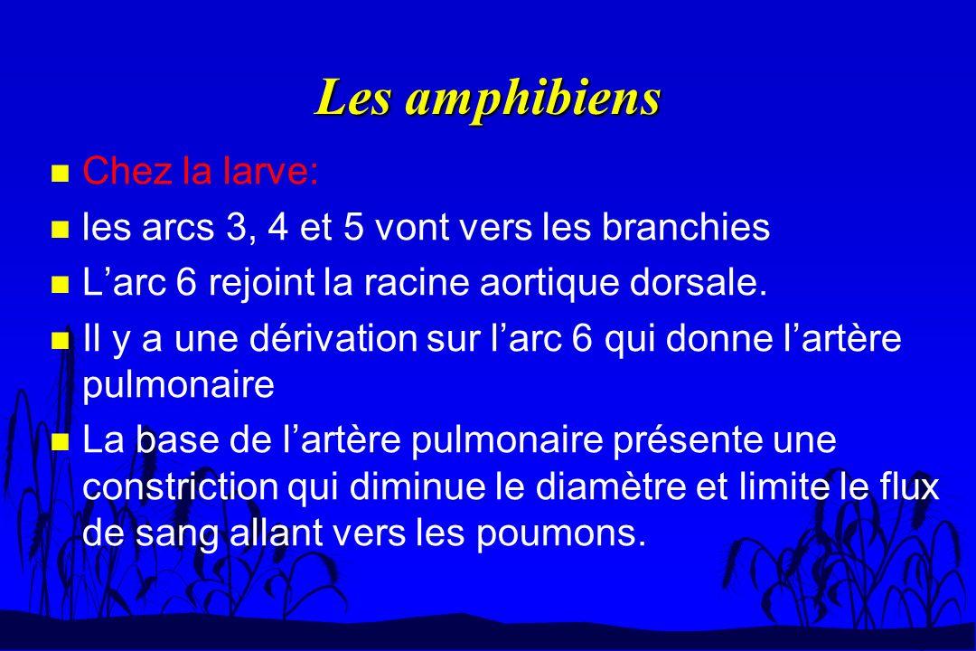 Les amphibiens n Chez la larve: n les arcs 3, 4 et 5 vont vers les branchies n Larc 6 rejoint la racine aortique dorsale. n Il y a une dérivation sur