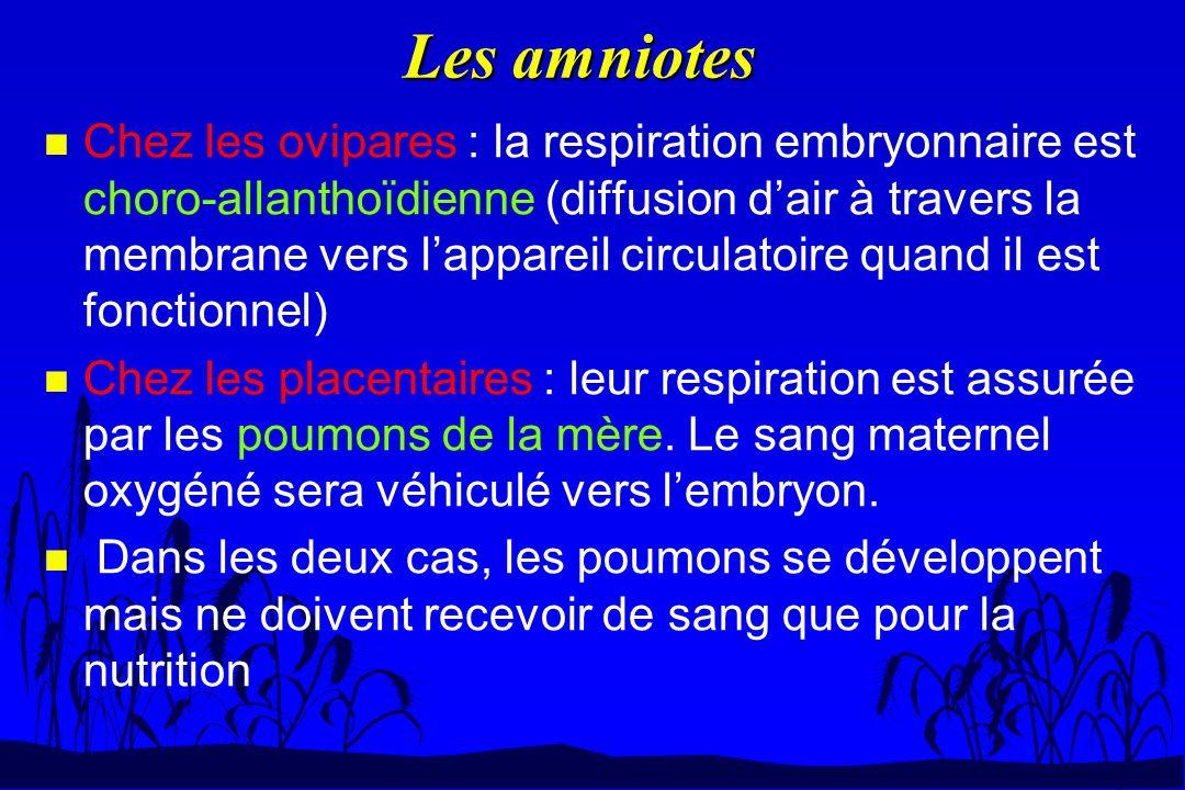 Les amniotes n Chez les ovipares : la respiration embryonnaire est choro-allanthoïdienne (diffusion dair à travers la membrane vers lappareil circulat