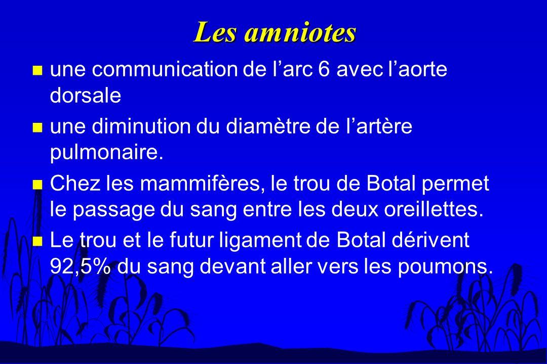 Les amniotes n une communication de larc 6 avec laorte dorsale n une diminution du diamètre de lartère pulmonaire. n Chez les mammifères, le trou de B