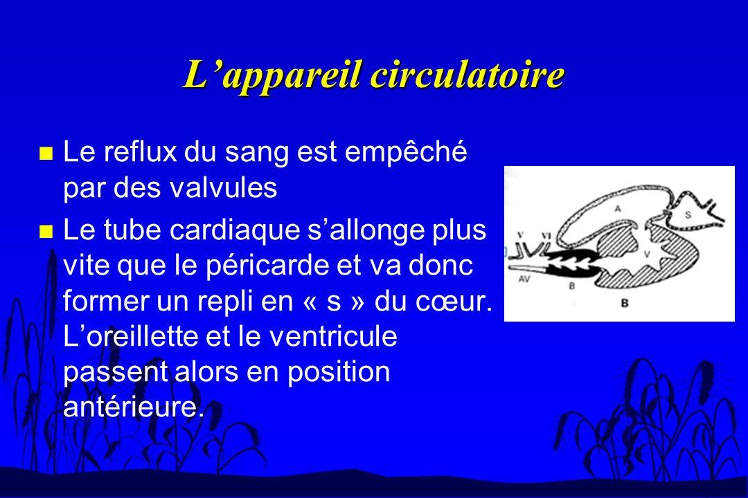 n Le reflux du sang est empêché par des valvules n Le tube cardiaque sallonge plus vite que le péricarde et va donc former un repli en « s » du cœur.